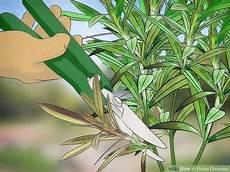 oleander pflege und schnitt trim oleander bush garden design ideas