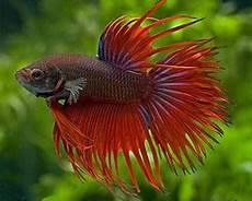 Makanan Ikan Cupang Cepat Bertelur rumah cupang cara ternak ikan cupang