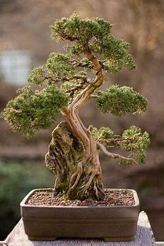 Bonsai Baum Kaufen - 25 unique cool plants outdoor inspiration buy bonsai