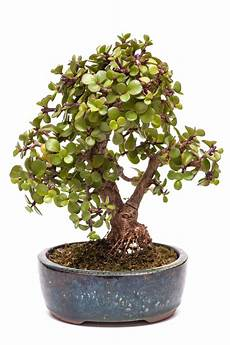 buy how to take care of a bonsai tree part 3