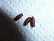 teppichkäfer larven im bett speckk 228 fer larven im schlafzimmer ungeziefer