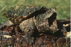 Contoh Hewan Reptil Kura Kura Alligator Snapping
