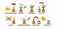 amaryllis pflege nach blüte amaryllis pflege neu jpg pflanzen pflege