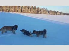 Norwegian Elkhounds, American Akita, and Elkita (c   YouTube
