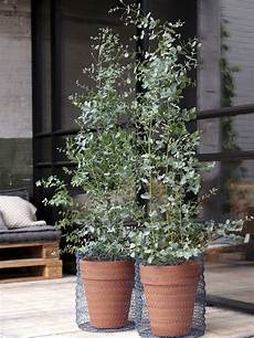 der eukalyptus pflanzenfreude