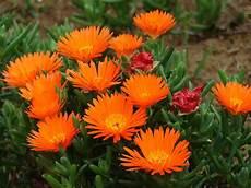 piante grasse fiori fucsia lranthus orange riverside garden centre