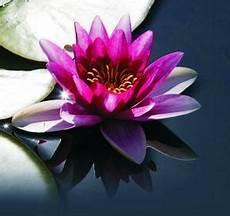 fiore loto fiore di loto opera al bianco