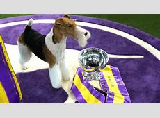 Westminster Dog Show 2020,Who won the Westminster Dog Show in 2020? Breed results|2020-11-30