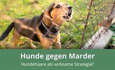 Helfen Hundehaare Gegen Marder 187 Anwendung Wirkungsweise