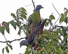 Burung Green Pigeon Atau Burung Punai
