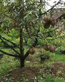 Cara Menanam Durian Pendek 3 Tahun Berbuah Info Tanaman Buah