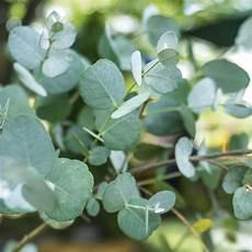 eukalyptus gunnii kaufen bestellen
