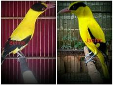 Ciri Ciri Perbedaan Burung Kepodang Jantan Dan Betina On