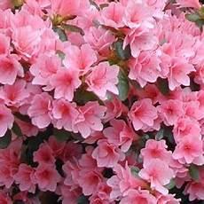 fiori azalee macedonia con i fiori d azalea