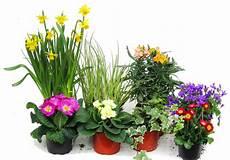 ganzjahresbepflanzung für balkonkästen pflanzen set f 252 r 80 cm balkonk 228 sten fr 252 hling pflanzen