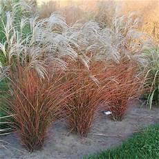 Miscanthus Sinensis Graziella Silver Grass