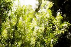 zylinderputzer schneiden zylinderputzer 187 pflanzen pflegen schneiden und mehr