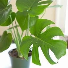 pflanze mit a houseplant highlight monstera deliciosa cookie and kate