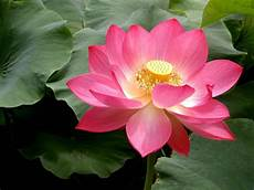 pink lotus flowers flower hd wallpapers images pictures tattoos and desktop background