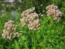 plante pour le foie plante pour le foie herbes curatives am 232 res aux