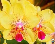 immagini fiori orchidee immagini orchidee 52 immagini in alta definizione hd