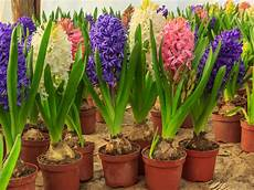 hyazinthen pflanzen pflege 252 berwintern verbl 252 hte