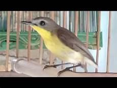 Cara Membedakan Burung Remetuk Laut Jantan Dan Betina