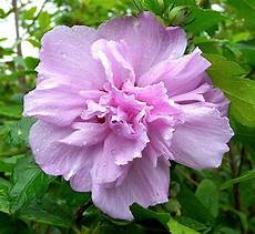 Hibiscus Syriacus Ardens Plantes Ext 233 Rieures