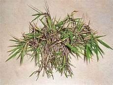 h 228 ngebambus stecklinge vermehren 187 majas pflanzenblog