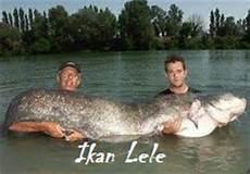 Ikan Lele Raksasa Gambar Alam Mentari