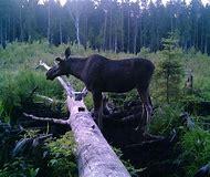правила охоты на лося в томской области
