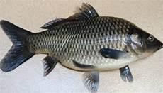 Ikan Paling Enak Di Indonesia Versi Diriku Secianjur