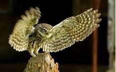 Gambar Burung Hantu 4 Gambar Viral Hd