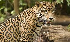 on the trail of jaguars in the jungle as the stunning beauty of costa rica is revealed daily