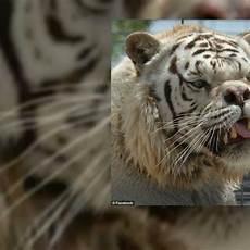 Foto Harimau Putih Mata Merah Moa Gambar
