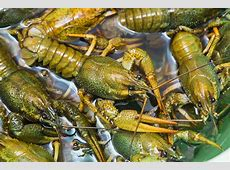 how to keep crawfish alive longer