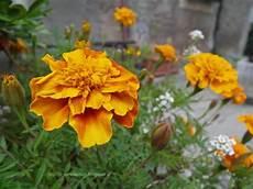 tagete fiore in nome dei fiori tagete o garofano indiano fiori rosso