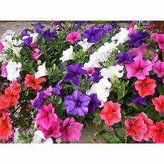 Buy Seeds Petunia Flower Multi Colour Flowers Seeds