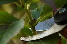 Hortensien Im Wasserglas Vermehren Stecklinge
