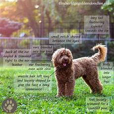 goldendoodle haircuts goldendoodle grooming timberidge the teddy bear goldendoodle haircut timberidge goldendoodles in 2020 goldendoodle haircuts