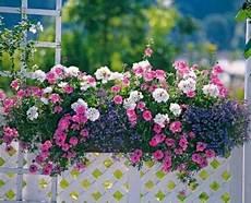 Id 233 E De Balconniere Plante Jardin Jardinage Et Jardins