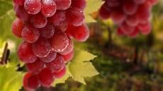 Gambar Buah Anggur Gambar Buah