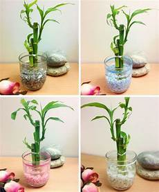 bambou en vase 1 pot of lucky bamboo in colourful glass vase house plant