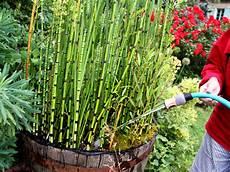 prele du japon en pot equisetum hyemale planter et cultiver ooreka
