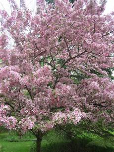 it s apple blossom time for tea visiting day
