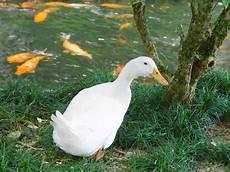 Duck Wallpaper