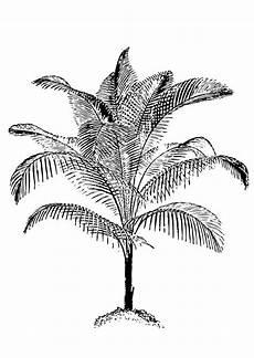 palma llanera para dibujar dibujo para colorear palmera 17401