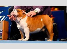 westminster dog show 2020 champion