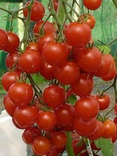 ist tomate eine frucht die polnische kirschtomate pokusa ist eine sehr