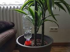 zimmerpflanzen im urlaub bewässern das beste bew 228 sserungssystem f 252 r zimmerpflanzen schlauer
